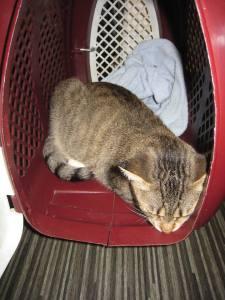 pisica la cabinet veterinar
