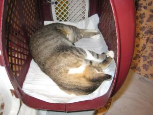 pisica sterilizata gratuit