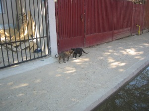 intalnire intre motan tigrat si pisica neagra